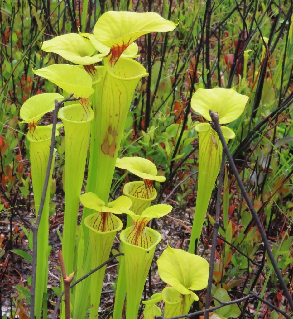 Pitcher Plant Janet Francoeur Fine Art Blog